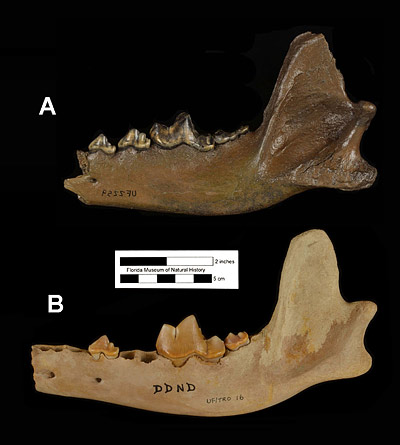 Figure 5. Lateral views of two mandibles of Canis dirus from the late Pleistocene of Florida. A, UF 2259, right partial mandible with p3-m3 of Canis dirus from Bradenton 51st Street site, Manatee County. B, UF/TRO 16, left mandible with p3, m1-m2 from Devils Den, Levy County. The specimen in A has been digitally flipped so it appears to be from the left side, allowing better comparison between the two specimens. UF/TRO 16 is a subadult individual with unworn teeth, while UF 2259 is a older adult with well worn teeth. Note the deepened ramus and added muscle scars that form as the animal matures.