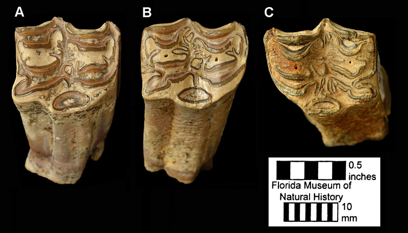 Figure 3. Upper cheekteeth of Cormohipparion ingenuum from Florida in occlusal view. A. UF 53401, right upper third premolar from the Love Site. B. UF 53388, right upper first molar from the Love Site. C. UF/TRO 7395, left upper second molar from one of the creeks in northwest Gainesville. This specimen shows a relatively high degree of enamel complexity for this species.