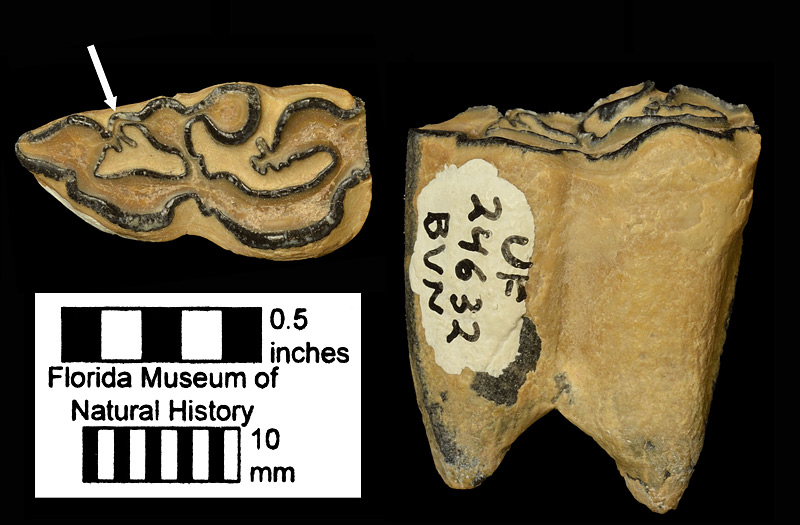 Figure 4. UF 24632, left lower second premolar (p2) of Cormohipparion ingenuum from the Nichols Mine Stream Matrix Site, Polk County, Florida; late Miocene. The arrow points to the enamel projection that runs from the metaconid to the paraconid. Such a projection is characteristic of this species and its descendant, Cormohipparion emsliei.