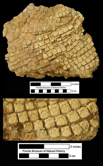 Figure 3. UF 61906, partial articulated carapace of Dasypus bellus from the Shell Materials Pit, Hillsborough County, Florida; early Pleistocene. This is the only known large section of a carapace of this species found articulated in Florida. The top image shows the entire specimen in dorsal view, while below is a close-up view of the pelvic buckler region.