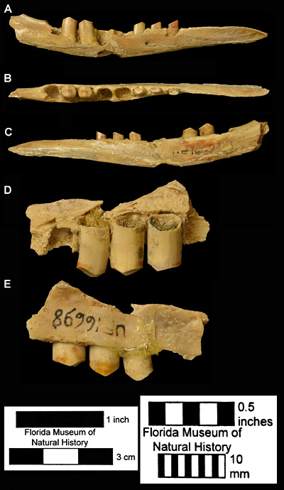 Figure 4. UF 16698, associated right mandible and partial maxilla of Dasypus bellus from Haile 15A, Alachua County, Florida. A, lateral; B, dorsal; and C, medial (lingual) views of the mandible. D, medial (lingual); and E, lateral (buccal) views of the partial maxilla. Note the short, peg-like teeth. Left scale bar is for the mandible (A-C), while the right scale bar is for the maxilla.
