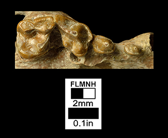 Leptarctus ancipidens