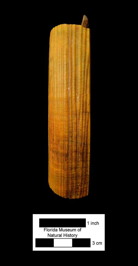 Castoroides dilophidus