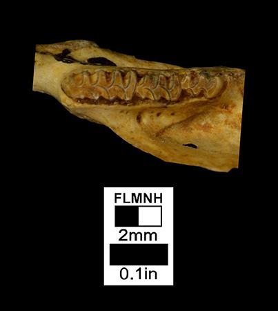 Microtus hibbardi