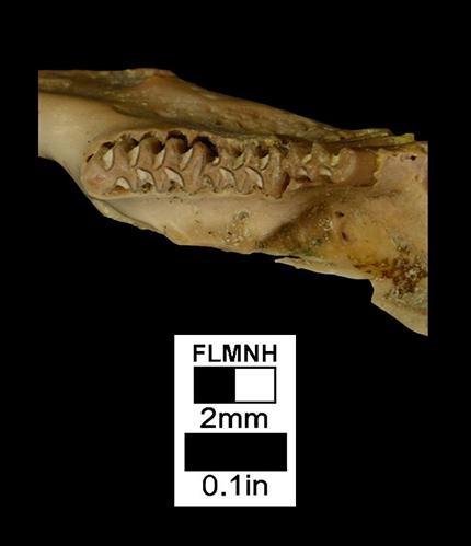 Microtus australis