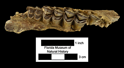 Floridatragulus dolichanthereus