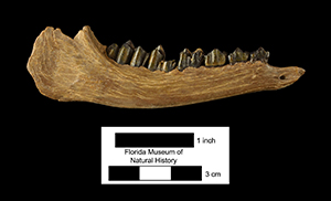 mandible of the small deer-like Pseudoceras from the Clarendonian of Florida