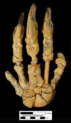 Articulated left hand of the Hemphillian sloth Pliometanastes from Florida