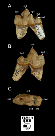 Figure 2. UF 272059, Lower right first molar of Osbornodon iamonensisin A) lingual B) buccal and C) occlusal views. Abbreviations: end, entoconid; hyd, hypoconid; med, metaconid; pad, paraconid; prd, protoconid. The lack of a ridge running from the hypoconid and entoconid across the talonid basin and a lingual subsidiary can also help to distinguish O. iamonensis molars from molars of other canids from Thomas Farm.