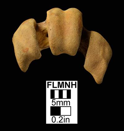 Figure 3. UF/PB 8067, tarsometatarsus of Ciconia maltha in ventral view.