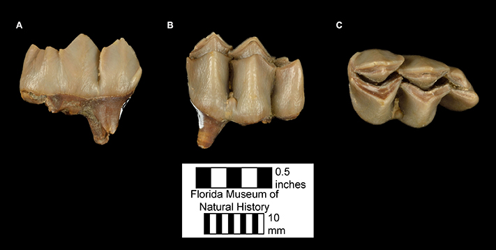 Figure 3. Third lower molar of Floridatragulus dolichanthereus in A) buccal/lateral view, B) lingual/medial view, and C) occlusal view.