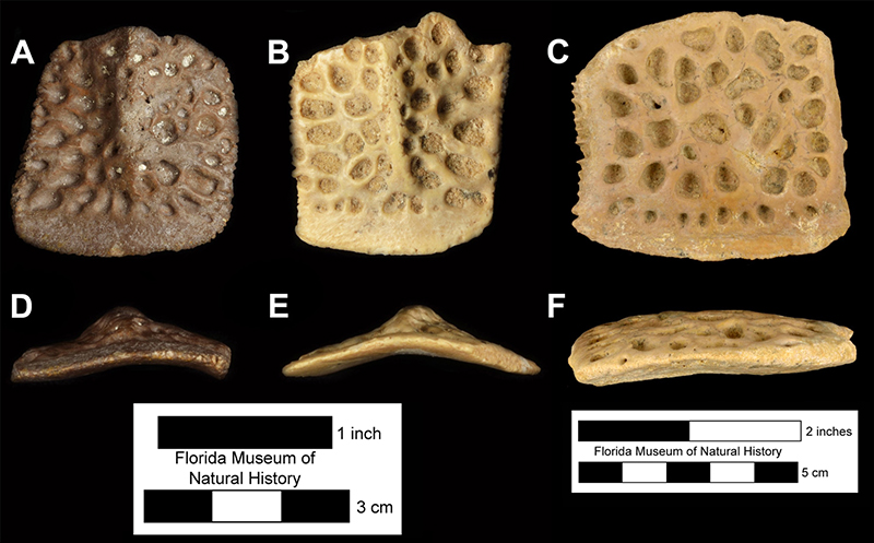 Figure 4. Comparison of fossil crocodylian osteoderms from Miocene localities in Florida. A, D, UF 206718, Alligator olseni osteoderm from the Thomas Farm type locality in Florida. B, E, UF/FGS 1439, Alligator olseni osteoderm from the Griscom Plantation locality in Florida. C, F, UF 156780, Gavialosuchus americaus osteoderm from the Haile 5B locality in Florida. Images in top row in dorsal view and images in bottom row appear in anterior view (scale bar changes between the Alligator and Gavialosuchus images). Note the prominent midline dorsal keels present on the Alligator osteoderms contrasted with the flat Gavialosuchus osteoderm.