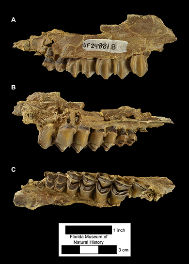 Figure 4. UF 248818, left maxilla with DP4-M2 plus partial erupting M3 of Floridatragulus dolichanthereus. A) Buccal or lateral view; B) medial view; C) occlusal view.