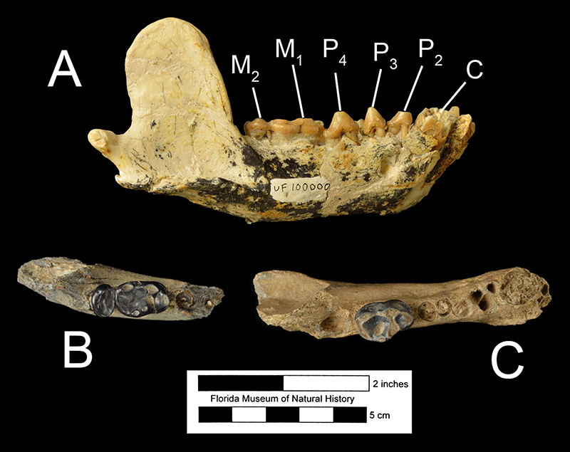 Figure 5. A) The mandible of UF 100000 in right lateral view, B) the partial left mandible of UF 32001, paratype of Enhydritherium terraenovae, with the first and second molars, and C) the partial left mandible of UF 18929, holotype of E. terraenovae with the first molar. Abbreviations for tooth positions the same as figure 4.