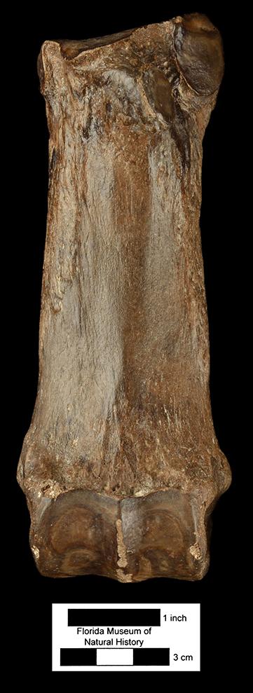 Floridaceras whitei