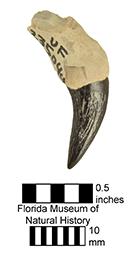 Pomatodelphis bobengi