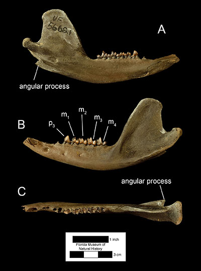 Figure 1. A left dentary of Didelphis virginiana (UF 56221) in A) medial, B) left lateral, and C) occlusal views. Abbreviations: p3 = third premolar; m1 = first molar; m2 = second molar; m3 = third molar; m4 = fourth molar.