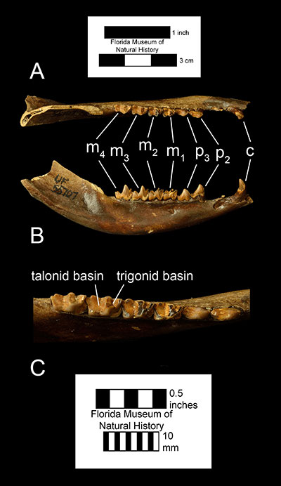 Figure 3. A right dentary of Didelphis virginiana (UF 5707) in A) occlusal and B) right lateral views, and C) a closeup of the posterior dentition. Abbreviations: c= canine; p2 = second premolar; all other abbreviations the same as figure 2.