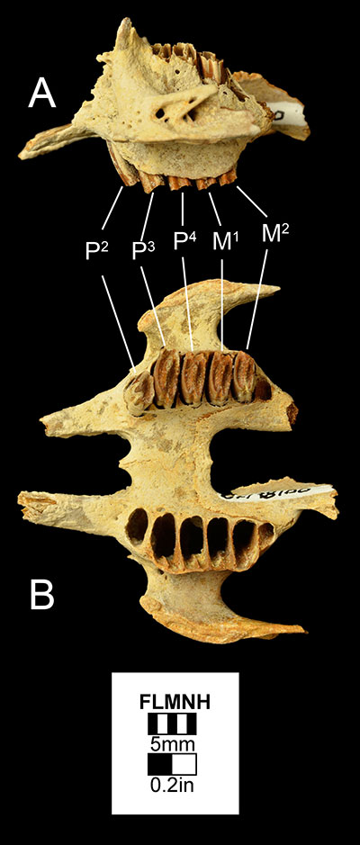 Figure 3. UF 178100, a maxilla of Sylvilagus webbi in A) left lateral and B) occlusal views. Abbreviations: M1= first molar; M2= second molar; P2= second premolar; P3= third premolar; P4= fourth premolar.