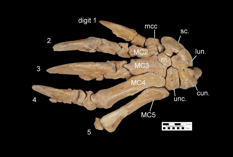 Figure 4. The dorsal view of the left hand of UF 121738, the holotype skeleton of Eremotherium eomigrans. Abbreviations: 2 = second digit; 3 = third digit; 4 = fourth digit; 5 = fifth digit; cun.= cuneiform; lun.= lunate; m. magnum; mcc= metacarpal-carpal-complex; MC2 = metacarpal 2; MC3= metacarpal 3; MC4 = metacarpal 4; MC5 = metacarpal 5; sc.= scaphoid; unc.= unciform.