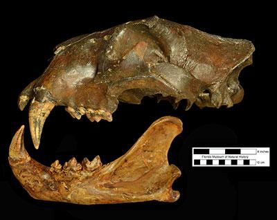 American lion fossil skull