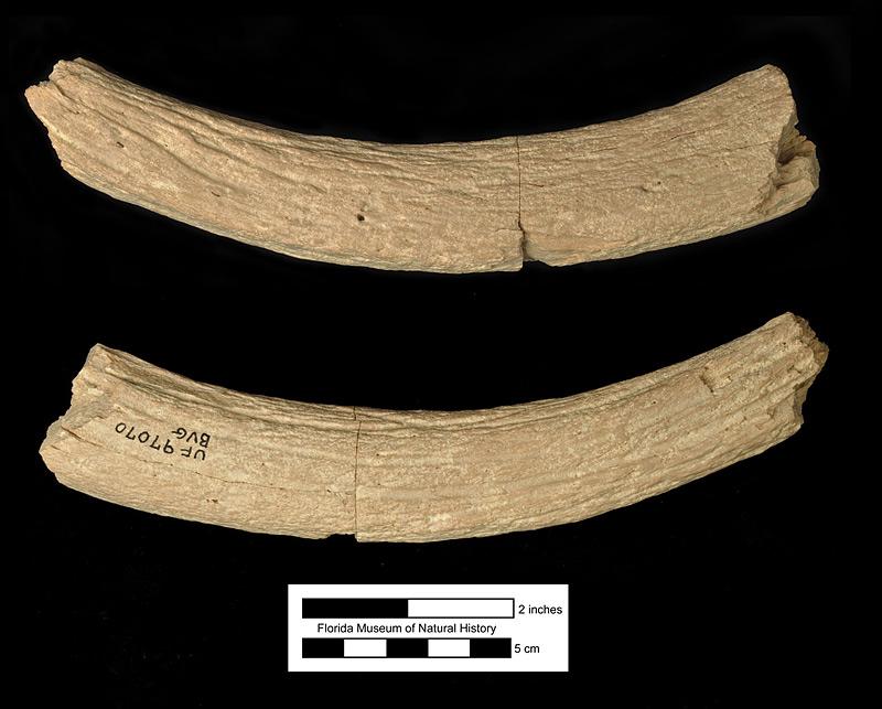 Figure 4. UF 97070. Partial frontal ossicone of Kyptoceras amatorum, Fort Meade Mine (Gardinier), Polk County, Florida. Note the deep vascular grooves.