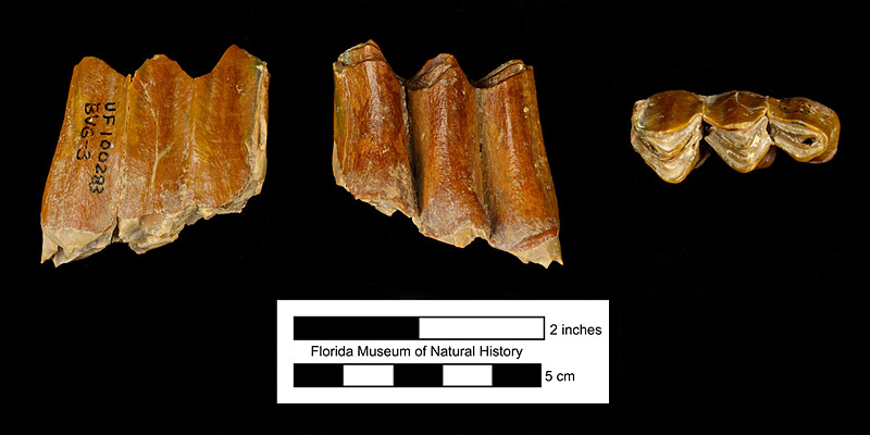 Figure 6. UF 100283, left lower third molar of Kyptoceras amatorum, shown from left to right in medial, lateral, and occlusal views. From Fort Meade Mine (Gardinier), Polk County, Florida.
