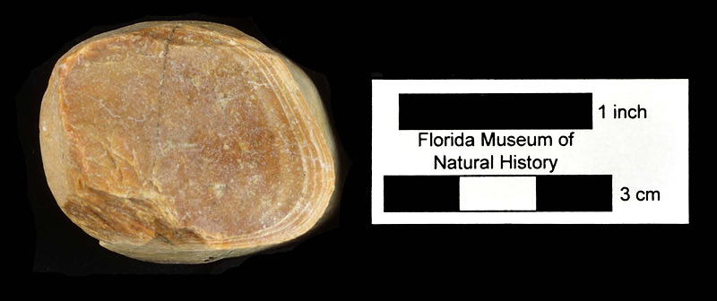 Figure 2. UF 273768, partial rib of Metaxytherium floridanum from the Love Site in Alachua County, Florida. Cross-sectional view showing growth rings.
