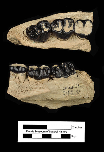 Figure 4. UF 28658, right maxilla of Metaxytherium floridanum with first, second, and third molars from the Grey Zone, Phosphoria Mine, Polk County, Florida. Occlusal (top) and lateral (bottom) views.