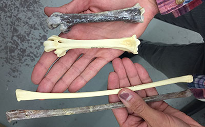 Swan bones in hand