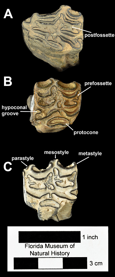 Figure 2. Upper cheek teeth of Neohipparion eurystyle from Polk and Hardee Counties, Florida. A, UF 17120, left second premolar from Kingsford Mine. B, UF 220026, right fourth premolar. C, UF 102590, left fourth premolar. All in occlusal view.