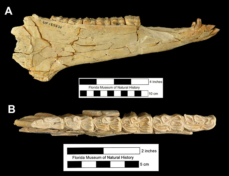 Figure 4. Mandibles of Neohipparion eurystyle from the Moss Acres Site, Marion County, Florida. A, UF 135839, right mandible in lateral view; and B, UF 69969, right mandible in occlusal view. Anterior to left in both.