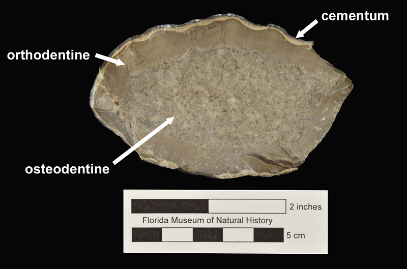 Figure 4. UF 256416, upper tusk of Ontocetus emmonsi from the Quality Aggregates Locality 8A in cross sectional view. Osteodentine core, surrounded by smooth orthodentine, and a thin layer of cementum.