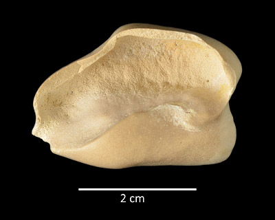 Figure 8. UF 212043, dorsal view of right auditory bulla of Pomatodelphis inaequalis from the Hardee Complex Mine, Hardee County.