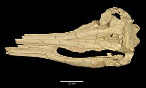 UF 115691, dorsal view of skull