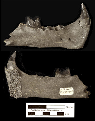 Figure 4. UF 124634, holotype right mandible of Rhizosmilodon fitae with canine and first molar, from the Whidden Creek Site, Polk Co., Florida. Above, lateral view; below, medial view.