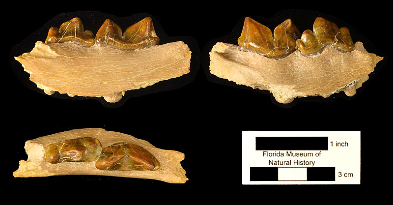 Figure 5. UF 272337, partial right mandible of Rhizosmilodon fitae with fourth premolar and first molar. Top row right, lateral view; top row left, medial view; bottom left, occlusal (dorsal) view. Note offset between alignment of p4 and m1.