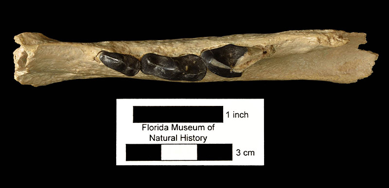 Figure 6. UF 22890, left mandible of Rhizosmilodon fitae with third and fourth premolars and partial first molar. This is the specimen first described by Berta and Galiano (1983).