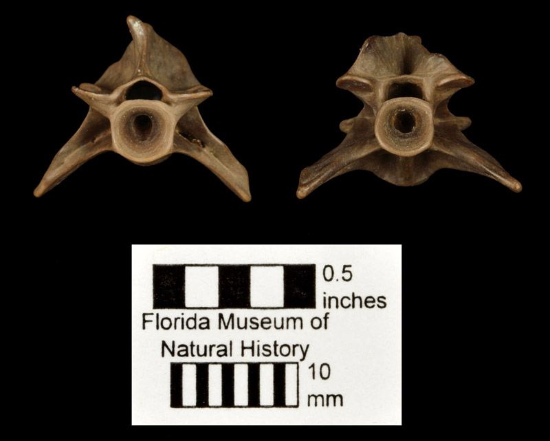 Figure 2. UF 21008, a vertebra of Siren lacertina in anterior (right) and posterior (left) views from the Ichetucknee River, Columbia Co., FL. Note both ends of the centrum are concave, forming what is termed an amphicoelous vertebra.