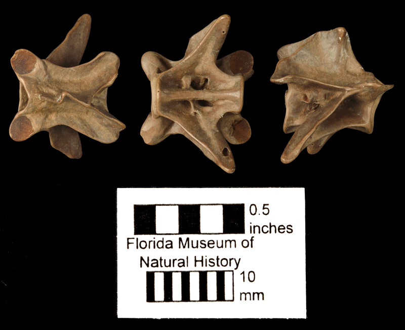 Figure 3. Vertebra of Siren lacertina in dorsal (right), ventral (middle), and lateral (left) views (same specimen as Fig. 2). Note the V-shaped edge of the neural spine in the dorsal view and the foramen at the base of the transverse process in the lateral view.