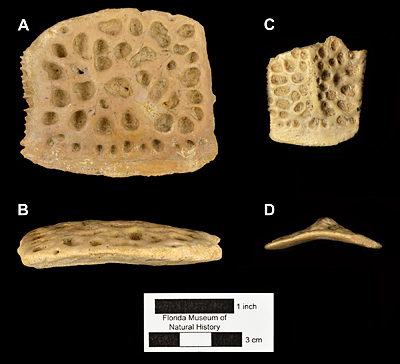 Figure 5. Comparative photograph of osteoderms of Thecachampsa americana (A-B, UF 156780), andAlligator cf. mississippiensis (C-D) in dorsal and lateral views
