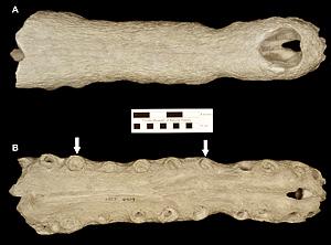 UF/FGS 564, cast of the holotype rostrum