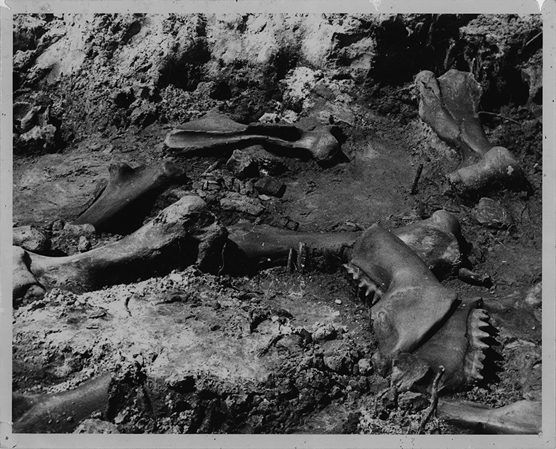 Figure 2. Mastodon skeleton from West Palm Beach Site as exposed in the field in 1969.
