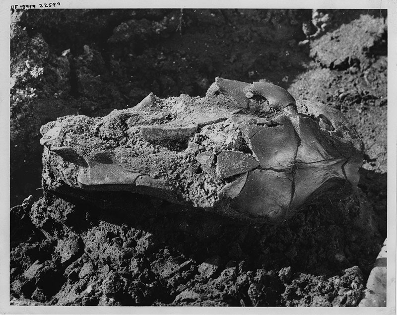 Figure 3. Skull of the extinct giant capybara Neochoerus pinckneyi from the West Palm Beach Site, Palm Beach County, Florida, as it looked in the field. Dorsal side of skull in view, posterior to right.