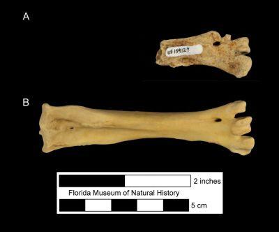 Figure 4. Tarsometatarsus of Haliaeetus leucocephalus in anterior view. A) UF 159127, fossil specimen of a partial right distal tarsometatarsus from Cutler Hammock, Dade County, Florida. B) Complete modern specimen for comparison.