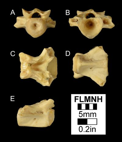 Figure 3. UF 2013, Batrachosauroides dissimulans fossil vertebra from the Moscow Local Fauna in Texas. A) Anterior, B) posterior, C) dorsal, D) ventral, E) and lateral views.