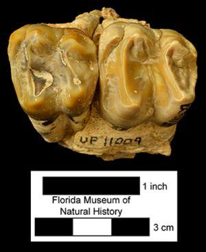 Occlusal view of teeth belonging to Webb's tapir.