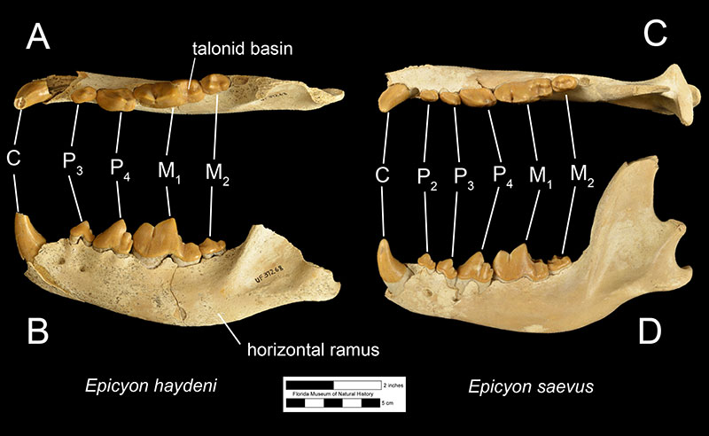 Figure 3. The left mandible of Epicyon haydeni (UF 37268) in A) occlusal and B) left lateral views and the right mandible of Epicyon saevus (UF 37265) in C) occlusal and D) right lateral views. The views of the mandible of Epicyon saevus has been flipped to facilitate comparison with that of Epicyon haydeni. Both specimens are from the late Clarendonian Love Site. Abbreviations: C= canine; P2= second premolar; P3= third premolar; P4= fourth premolar; M1= first molar; M2= second molar.