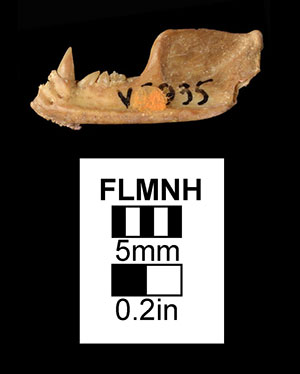 UF/FGS 5935, a jaw belonging to this species.