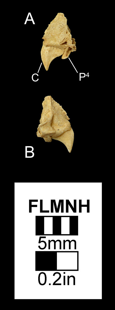 Figure 2. Partial right maxilla of Desmodus stocki (UF 61374) in A) medial and B) right lateral views. Abbreviations: C= canine, P4= fourth premolar.